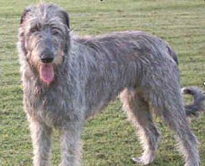 L'irish wolfhound