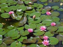 Il laghetto ornamentale